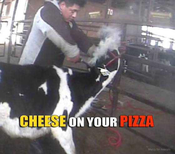 """At Willet Dairy we documented """"disbudding,"""" which is the painful removal of horns shown here without any pain relief or medical care."""