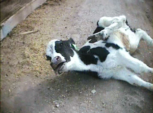 Terribly sick calf at E6 Cattle Co. left to suffer on the ground by workers.