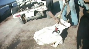 E6 Cattle Co. investigation exposed the common practice within the dairy industry of killing calves with pickaxes and hammers. The hotel employee who assisted me in re-setting up the news conference room in Amarillo, Texas (home of Oprah's famed lawsuit after she spoke the truth about the beef industry) told me as he watched the undercover footage that calves they killed calves the same way on the farm he worked for (an entirely different company).